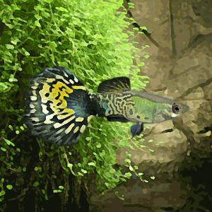 Guppy male cobra vert (environ 4 cm)