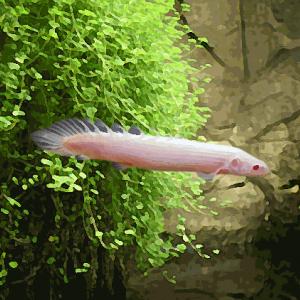 Polypterus senegalus albinos (environ 8 cm)