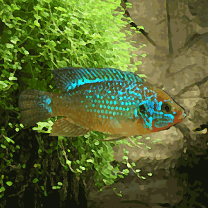 Hemichromis lifalili bleu (environ 5 cm)