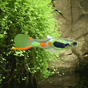 Guppy mâle endler vert (campoma n°10) (environ 2 cm)