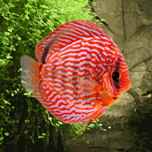Discus Stendker turquoise rouge (environ 6 cm)