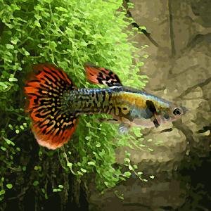 Guppy male mosaique rouge (environ 4 cm)