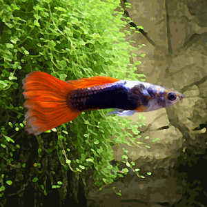 Guppy male metallic neon rouge (environ 4 cm)