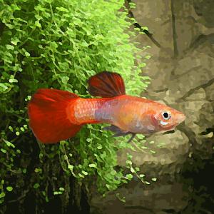 Guppy male red corail (environ 4 cm)