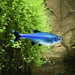 Tetras bleu (environ 3 cm)