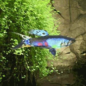 Guppy male lazuli (environ 4 cm)
