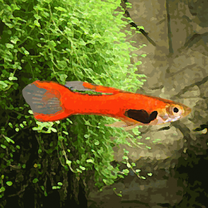 Guppy male endler red scarlet (environ 2 cm)
