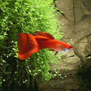 Guppy male rouge (environ 4 cm)