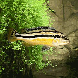 Melanochromis auratus (environ 5 cm)