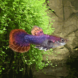 Guppy male magenta multicolor (environ 4 cm)