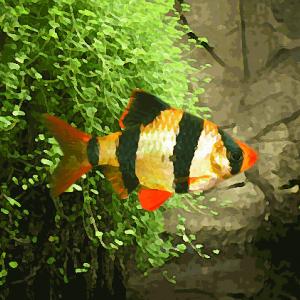 Barbus jaune (environ 3 cm)