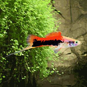 Xipho tricolor (environ 5 cm)