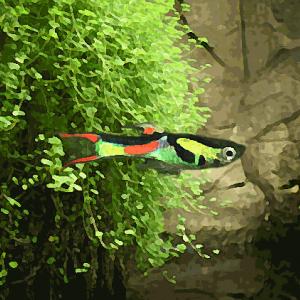Guppy mâle endler (environ 2.5 cm)