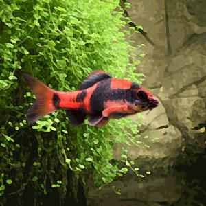 Barbus panda melanampyx (environ 4 cm)