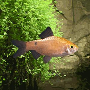 Barbus conchonius gold (environ 5 cm)