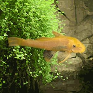 Ancistrus gold (environ 4 cm)