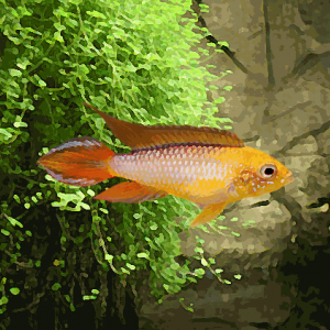 Apistogramma agassizi gold red (environ 4 cm)