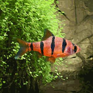 Barbus pentazona (environ 3 cm)