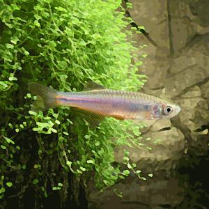 Danio albolineatus (environ 3 cm)