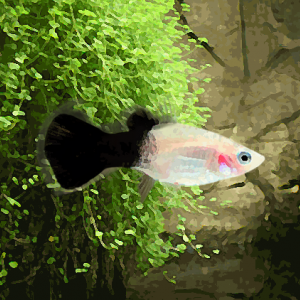 Platy panda (environ 3.5 cm)