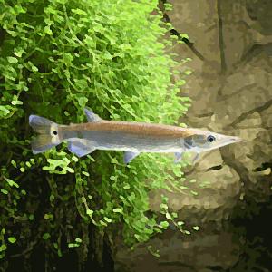 Ctenolucius hujeta (5 à 7 cm)