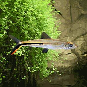 Hemiodus gracilis (5 à 7 cm)