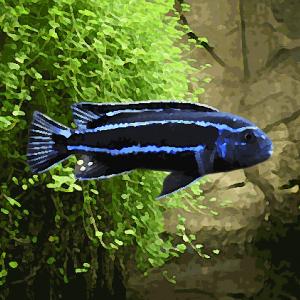 Melanochromis mengano (environ 5 cm)