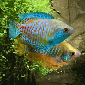 Colisa bleu neon le couple (environ 5.5 cm)