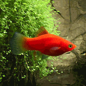 Platy rouge (environ 3.5 cm)