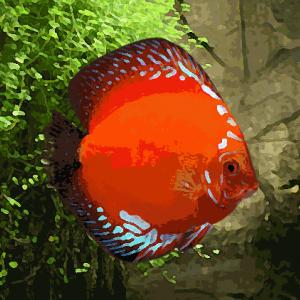 Discus Stendker marlboro rouge (environ 6 cm)