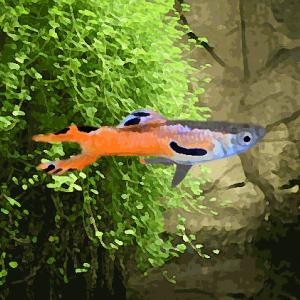 Guppy male endler scarlet nacre (environ 2 cm)