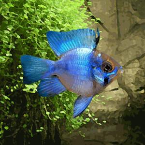 Apistogramma ramirezi sp.bleu electric ballon (environ 3.5 cm)