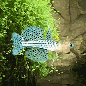Pseudomugil gertrudae (environ 2 cm)