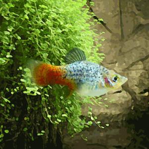 Platy calico bleu (environ 3.5 cm)