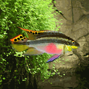 Kribensis (environ 5 cm)