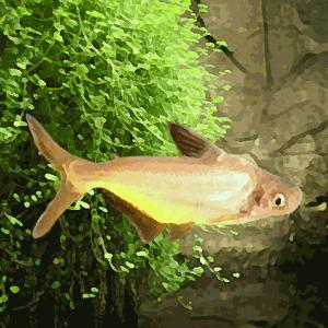 Pangasius gold (environ 7 cm)