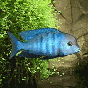Haplochromis moori (environ 5 cm)