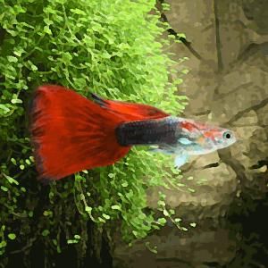 Guppy male tuxedo rouge (environ 4 cm)