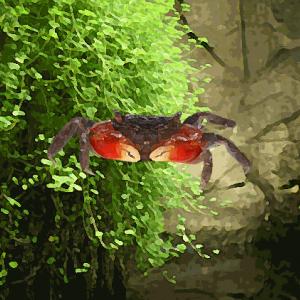 Crabe rouge sesarma sp. (environ 4 cm)