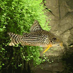 Corydoras sterbai (environ 4 cm)