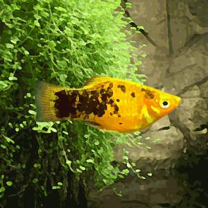 Platy calico jaune (environ 3.5 cm)