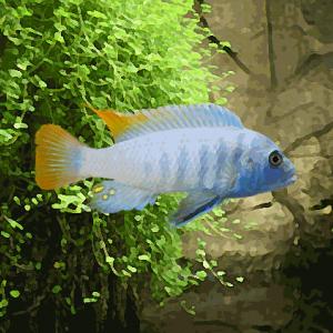 Pseudotropheus ice blue (environ 5 cm)