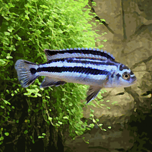 Melanochromis johannii (environ 4 cm)