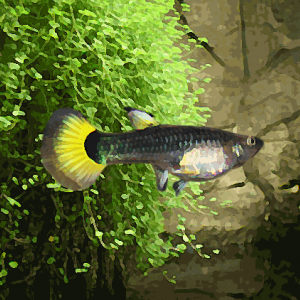 Guppy femelle tuxedo jaune (environ 4 cm)