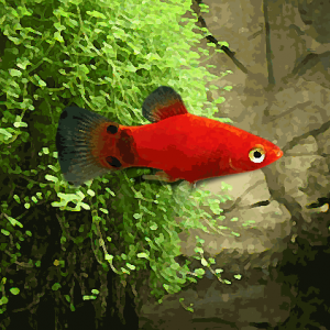Platy mickey rouge (environ 3.5 cm)