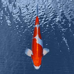 Koi kikusui orange/blanc (7 à 10 cm)