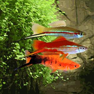 Xipho varies (environ 5 cm)
