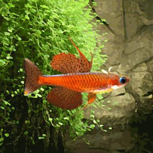 Pseudomugil paskai (environ 2 cm)