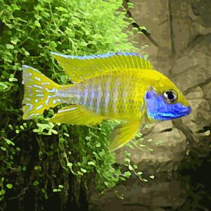 Aulonocara nyassae jaune (environ 5 cm)
