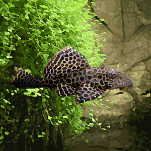 Pleco gibbiceps (environ 5 cm)